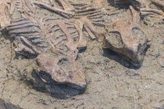 化石 免版税库存照片