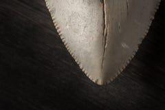 化石Megalodon牙特写镜头在木背景的 库存图片