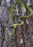 绿化粗砺的蛇 免版税图库摄影