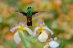 绿化红褐色被盯梢的蜂鸟, Amazilia tzacatl,飞行在美丽的花旁边,好的开花的橙色绿色背景,肋前缘R 免版税库存照片