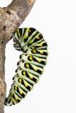 化蛹的蝴蝶幼虫 免版税库存图片