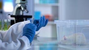化验员藏品准备好射入注射器,测试在鼠的新的医学 库存图片