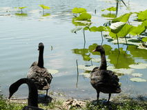 北京公园黑天鹅 库存图片