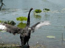 北京公园黑天鹅 免版税库存照片