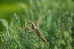 北京螳螂在天坛公园 免版税库存照片