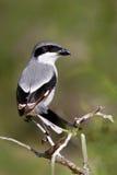 北伯劳,拉尼厄斯excubitor、gey和黑鸟坐分支 美丽的鸟坐分支 natur的伯劳 库存照片