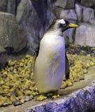 北冰的企鹅 免版税图库摄影