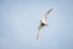 北冰的燕鸥 免版税图库摄影