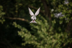 北冰的燕鸥 图库摄影