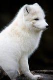 北冰的狐狸 库存照片