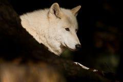 北冰的狼 免版税库存照片