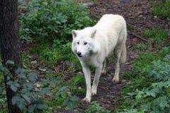 北冰的狼 免版税库存图片