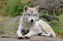 北冰的狼 库存照片