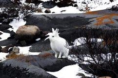 北冰的野兔 库存照片