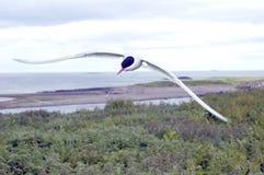 北冰的飞行燕鸥 库存图片