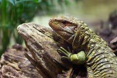 北凯门鳄蜥蜴 免版税库存图片