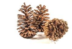 北卡罗来纳杉木锥体 免版税库存图片