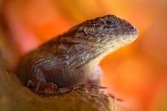 北卷曲被盯梢的蜥蜴, Leiocephalus carinatus,异乎寻常的动物的细节眼睛画象有橙色清楚的背景,这个spec 库存图片