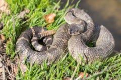 北和平的响尾蛇-响尾蛇oreganus oreganus 免版税库存照片
