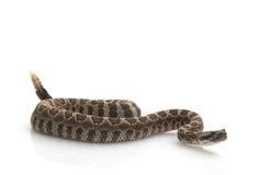 北和平的响尾蛇 库存图片