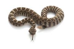 北和平的响尾蛇 库存照片