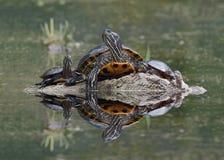 北地图取暖在日志的乌龟和内地被绘的乌龟 库存照片