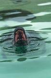 北大西洋在水和陈列teeths的斑海豹游泳,当打呵欠时 免版税库存图片