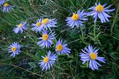 北帕米尔高原的美丽的花 图库摄影