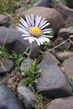北帕米尔高原的美丽的花 免版税库存图片