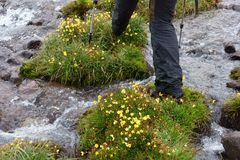北帕米尔高原的美丽的花 库存照片