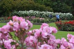 北帕莫斯顿NZL玫瑰园  图库摄影