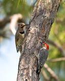 北忽悠和红鼓起的啄木鸟 免版税库存图片