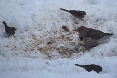北忽悠啄木鸟和朋友 免版税库存照片