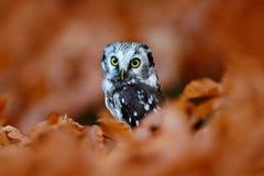 北方猫头鹰在橙色落叶松属秋天森林里在中欧,细节画象在自然栖所,捷克 库存照片