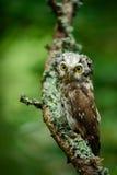 北方猫头鹰在绿色落叶松属秋天森林里在中欧,细节鸟画象在自然栖所,德国 免版税库存图片