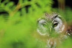 北方猫头鹰 免版税库存图片