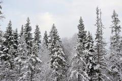 北方针叶林在早期的冬天 免版税库存照片