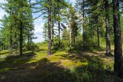 北方针叶林,在倾斜的树 免版税库存照片