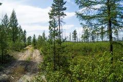 北方针叶林,在倾斜的树 免版税库存图片