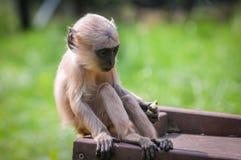 北无格式灰色叶猴 库存照片