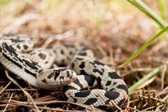 北松蛇 免版税库存图片