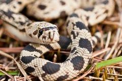 北松蛇 免版税库存照片