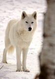 北极冬天狼 免版税库存照片