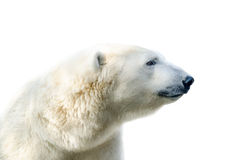 北极北极熊,熊属类maritimus 免版税库存图片