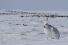 北极在雪的野兔天兔座arcticus开会和流洒它的冬天外套,努纳武特 免版税图库摄影