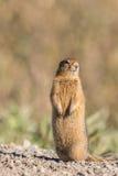 北极地松鼠 免版税库存照片