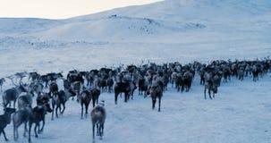 北极山的看法 驯鹿牧群鸟瞰图,在雪跑在寒带草原 4K 红色史诗 股票录像