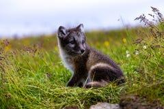 北极崽狐狸 免版税库存照片