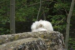 北极形成狐狸休息的岩石 库存图片