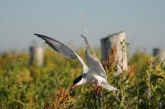 北极提供的鱼freh燕鸥 库存图片